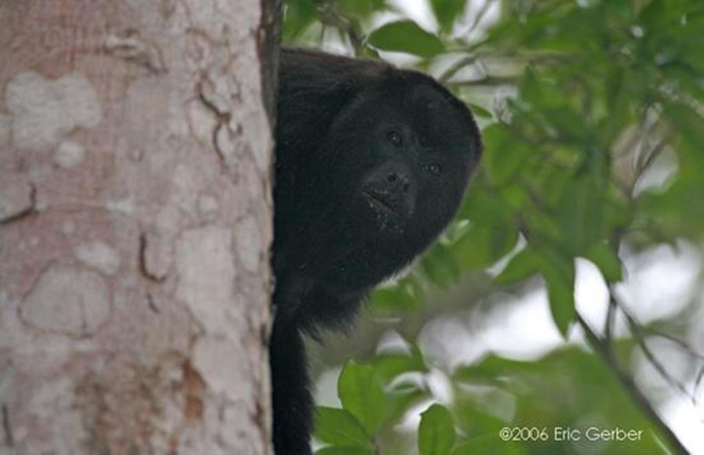 Howler Monkey Rio Bec Dreams Hotel in Calakmul