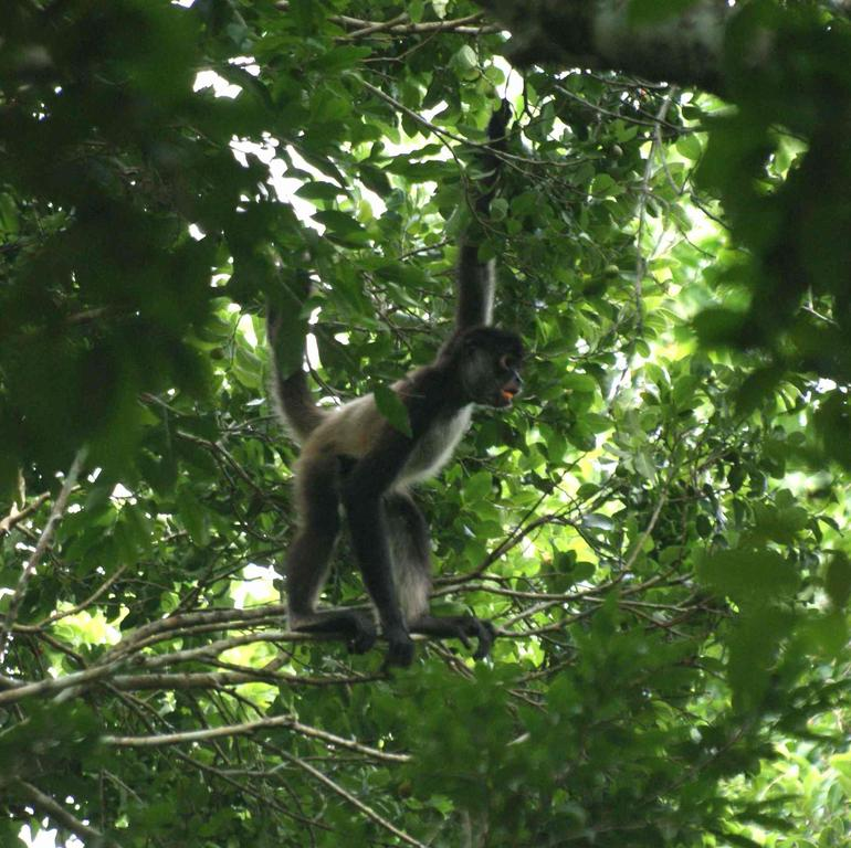 Hotel Rio Bec Dreams | Animals | Spider Monkey